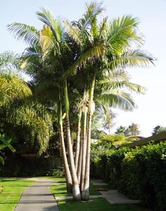 Archontophoenix cunninghamiana (Bangalow Palm; King Palm; Illawara Palm; Piccabeen Palm) - native to Australia - grows to 18m
