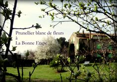 Prunellier blanc de fleurs printemps 2015 / Wild plum tree blossoming eastern 2015