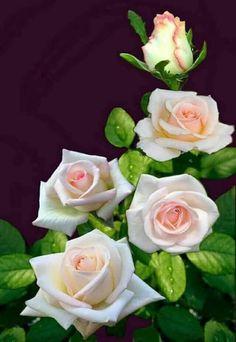 ünal – Mehmet Hançer – Join the world of pin Beautiful Rose Flowers, Love Rose, Amazing Flowers, Beautiful Flowers, Beautiful Pictures, White Roses, Pink Roses, Tea Roses, Flower Power