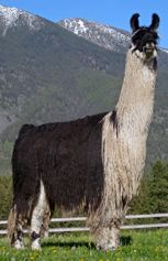 Go to Herdsires Llama Alpaca, Alpacas, Animal Pictures, Sheep, Creatures, Awesome, Animals, Camels, Images Of Animals