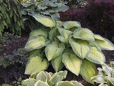 """#hosta 'Paul's Glory' has intriguing; continuously changing leaf colors. In spring, leaves have blue-green margins and chartreuse centers. By summer, the margins turn dark green and the centers become bright gold. Ovate leaves are corrugated and of good substance, making them more slug resistant than other varieties. Pale lavender, bell-shaped flowers appear on 40"""" scapes in midsummer. Attracts both hummingbirds and songbirds. $400 / 20 plants"""