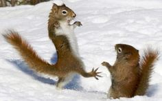 A red squirrel adopts a ninja-like pose reminiscent of the 80s blockbusterKarate Kid as he squares up to another rodent during a fight. The pair of squirrels were fighting over some seeds that had been thrown onto the snow in Algonquin Provincial Park in Ontario, Canada.