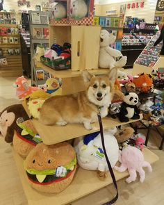 Knives the Corgi — How much is that doggie on the display...