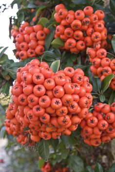 Rowan berries make a lovely savoury jelly to have with cold meat. Fruit Plants, Fruit Garden, Fruit Trees, Trees To Plant, Types Of Fruit, Fruit And Veg, Fruits And Veggies, Fresh Fruit, Weird Fruit