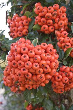 ❤ Fruits-Prolific fruit.