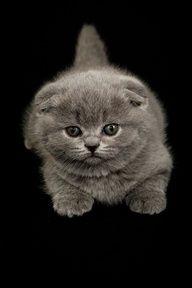 blue scottish fold kitten