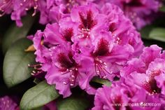 Rhododendron 'Orakel' will be happiest when planted in moist, acid soil, or good… Chelsea Flower Show, Mauve Color, Shades Of Purple, Flower Petals, Beautiful Flowers, Nursery, Rose, Plants, Pink
