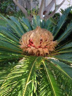 Sago Palm (female) Sago Palm Tree, Palm Trees, Palm House Plants, Palm Garden, Unique Plants, Ornamental Plants, Botany, Flora, Exotic