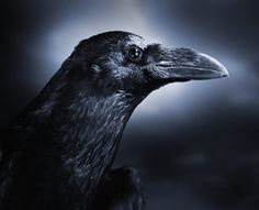 A crow never forgets. New research shows the birds can remember human faces for up to five years.