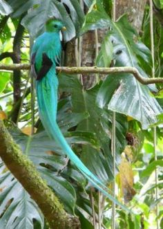 Quetzal bird Cerro Punta Panama bird watching - The best place to go bird watching in Panama would probably be Soberania National Park. Out of the 950 species of birds in Panama, the Audubon Society has found 550 of them in the Soberania National Park in a 24-hour period on their Christmas count. - See more at…