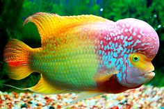 Discover the top 10 most colorful freshwater fish as well some of the most beautiful fish for freshwater fish tank aquariums. Find out which freshwater fish is best for your fish tank. Also, discover the top 10 most beautiful freshwater fish. Beautiful Sea Creatures, Animals Beautiful, Cute Animals, Underwater Creatures, Ocean Creatures, Colorful Fish, Tropical Fish, Pez Flower, Fauna Marina