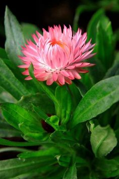 A flower destined for our #rhschelsea garden shot at Kelways Plants in Somerset #chelseaflowershow #australia #gardens