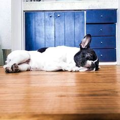 Time for my 4 hour nap.  __  This is my entry for the #tiredpupsgiveaway hosted by @rikutheaussie @arya_the_aussie @aussie.atlas  __  #dogsofinstaworld  #LOVEABULLY #frenchies1 #frenchieoverload #bullyinstafeature #jj_indetail #jj_welovepets #sunnypicchallenge #nothingisordinary #bestwoof #houndsbazaar #thefrenchiepost #a_dogsworld  #animalbuzz #dogsofinstagram #lacyandpaws #rainbow_wall  #ruffpost #frenchbulldog #excellent_dogs #meowvswoof #frenchielove_feature #mydogiscutest #cutepetclub…