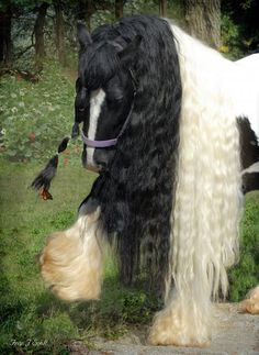 Gypsy horse ..and butterfly at the end of the hair on her face :)  #GypsyVannerHorses