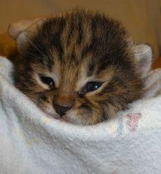 Newborn kitten at Audubon Center for Research of Endangered Species. African Black-Footed kittens, an endangered species.