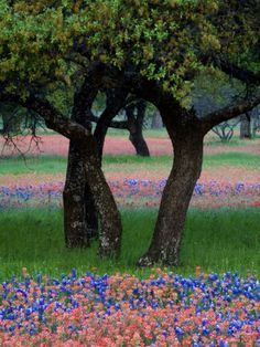 size: Photographic Print: Texas Wildflowers and Dancing Trees, Hill Country, Texas, USA by Nancy Rotenberg : Artists Indian Paintbrush, Texas Bluebonnets, Framed Prints, Canvas Prints, Framed Art, Wall Art, Texas Hill Country, West Texas, Blue Bonnets