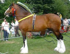Shire Horse Breeds