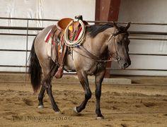 Grulla Quarter Horse (Sage) Nu Star In Hollywood
