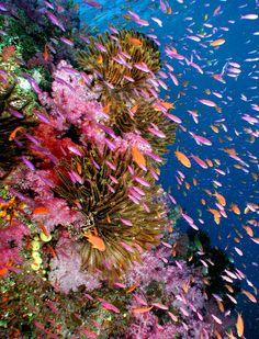 Fiji Dive Resort   Rainbow Reef Fiji   Great White Wall