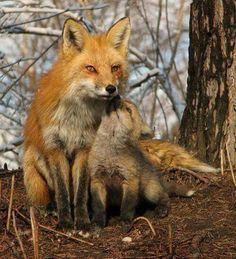 Fox and baby.