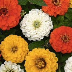 """Zinnia 'Citrus Cocktail' - Enormous 4-5 inch blooms atop 36"""" stems. A bright addition for your flower garden."""