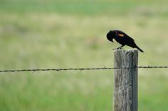 Red-winged black bird on the Pawnee National Grasslands in Weld County, Colorado. Arapahoe Indians, State Birds, Blue Heron, Bird Species, Colorado, Wings, Island, Red, Black