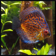 Diskus Aquarium, Tropical Fish Aquarium, Saltwater Aquarium, Planted Aquarium, Freshwater Aquarium, Aquarium Pictures, Discus Fish, Cool Fish, Angel Fish