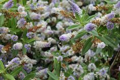 Bumble Bee on the Buddleja