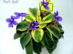 """Fool's Gold (C.Phillips).   Простые синие фиалковые цветы; редчайшая удлиненная листва типа """"клакамус"""" с золотистой пестролистностью. Полумини (Чужое фото)"""