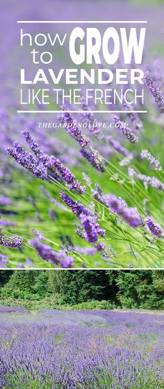 How To Grow Lavender Like the French! - Great tips on growing lavender! Check out this and other DIY garden ideas & projects! Diy Gardening, Gardening Gloves, Organic Gardening, Container Gardening, Flower Gardening, Vegetable Gardening, Permaculture Garden, Gardening Supplies, Growing Lavender