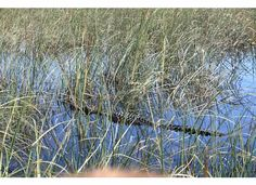 Alligator as seen from an airboat