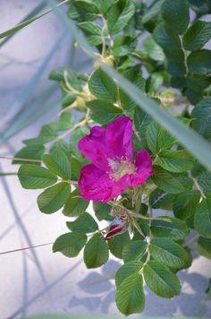 Bałtyk pachnie różami - trochę refleksyjnie