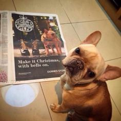 Meet Lola, the star of the new Dunnes Stores Christmas ad! Christmas 2014, French Bulldog, Meet, Wedding Ideas, Seasons, Star, Dogs, How To Make, French Bulldog Shedding