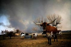Antibiotic-Resistant Bacteria From Texan Cattle Yards Are Now Airborne, Study Finds