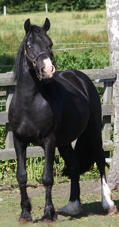 Welsh Cob (section D) stallion Cnwch Comanche - black splash white (?) with interrupted blaze and little white patch over right eye