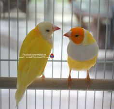 Two Yellowback Gouldian Finches (male & female) – Fly Babies Aviary Beautiful Birds, Most Beautiful, Beautiful Pictures, Finch Cage, Flying With A Baby, Australian Animals, Exotic Birds, Diy Stuffed Animals, Cute Baby Animals