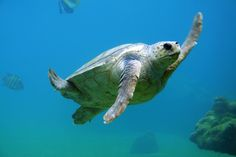 The best place to scuba dive with turtles includes The Great Barrier Reef, the Red Sea in Egypt, Bonaire, Barbados and Akumal in the Caribbean Sea Wildlife Conservation Society, Turtle Conservation, Great Barrier Reef, Under The Water, Gili Air, Turtle Swimming, High Five, Sea And Ocean, Ocean Beach