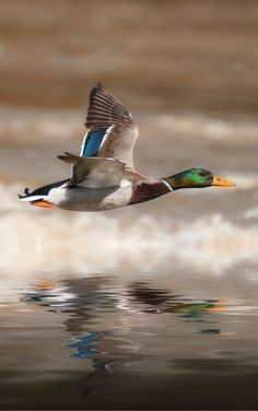 duck by Detlef Knapp Birds In The Sky, All Birds, Birds In Flight, Hunting Art, Duck Hunting, Wildlife Photography, Animal Photography, Beautiful Birds, Animals Beautiful
