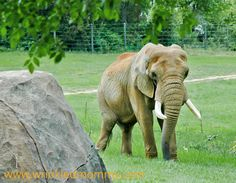 Elephant at Asheboro NC Zoo - the NC Zoo is a fabulous natural habitat facility.  One of the very best!!