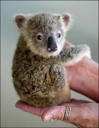 This baby koala is the cutest thing ever. This baby koala is the cutest thing ever. Cute Baby Animals, Animals And Pets, Funny Animals, Zoo Animals, Funniest Animals, Small Animals, Unusual Animals, Animals Beautiful, Beautiful Cats