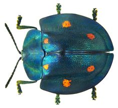 Cyrtonota sexpustulata - Beetle specimen photographed by Udo Schmidt, from his collection. Beetle Insect, Beetle Bug, Insect Art, Leaf Beetle, Cool Insects, Bugs And Insects, Mantis Religiosa, Cool Bugs, Carapace