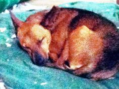 Peppe (Peppermint) taking a nap   reminds me of KoKo