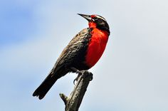 Long-tailed meadowlark in Chile. Called a 'loica' by the locals. By mothclark62, via Flickr