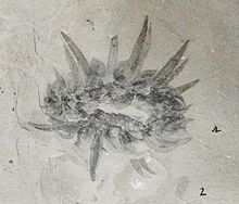 Fossil showing underside of Wiwaxia corrugata from the Burgess Shale.  Wiwaxia is a genus of soft-bodied animals that were covered in carbonaceous scales and spines. Wiwaxia fossils – mainly isolated scales, but sometimes complete, articulated fossils – are known from early Cambrian and middle Cambrian fossil deposits across the globe. The living animal would have measured up to 2 inches when fully grown, although a range of juvenile specimens are known, the smallest being 2 millimetres…