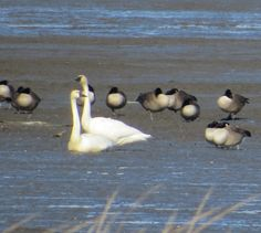 Tundra swans mourning the decline of the neighborhood, Bombay Hook NWR, DE