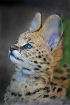 What big ears you have!!  Serval kitten