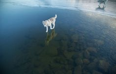 Siberian dogs husky photography ice lake, Husky photography has the ideal adjust of both charms and being canine measured. Furthermore, in the photos by Kirovsk based Fox Grom, they seem to tread on water, as well. All things considered, no, these Siberian huskies aren't performing marvels: they're quite recently getting a charge out of a …