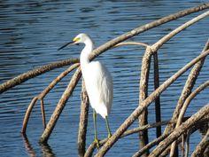 Bird Photos, Birding Sites, Bird Information: JUVENILE SNOWY EGRET, NAPLES BOTANICAL GARDEN, NAP...