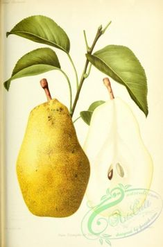 pear-01241 - Pear, 2 - pack Paper free clipart Graphic download scrapbooking picture Pictorial plants nature ArtsCult 300 dpi instant century pages royalty qulity paintings beautiful masterpiece flora fabric public 1800s books 17th domain scan craft collage natural old blooming commercial high flower  botanical Victorian 1700s 1900s ornaments flowers naturalist botany engravings pre-1923 nice wall supplies use transfer lithographs collection floral Edwardian decoration 18th printable art… Fruit Picture, Botany, Printable Art, Pear, Clip Art, Floral, Flowers, Plants, Pictures