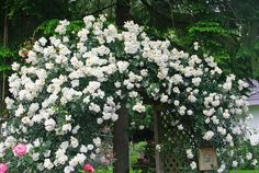 City of York Climbing Rose: Gardenista